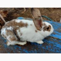 Продам кролика породы бабочка