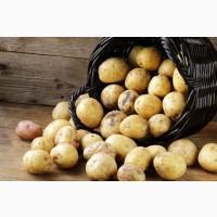 Покупаем товарный картофель 1 и 2 сорта