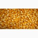 Посівний матеріал кукурудзи ВН 63 (ФАО 280)