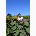 Аркансель - гибрид подсолнечника с высоким потенциалом урожайности