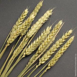 Куплю пшеницу. Вся Украина