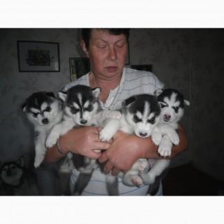 Продам щенков хаски с родословной