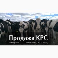 Продаем крупно рогатый скот живым весом - Племенные нетели молочных и мясных пород