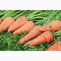 Морква оптом