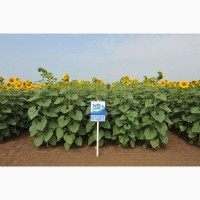 Семена подсолнечника НС Таурус Устойчив к Евро-Лайтингу, Технология выращивания Clearfield