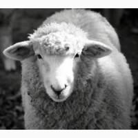 Куплю дорого бараны овцы козы крс