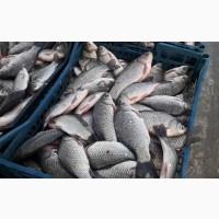 Оптом живая рыба от 500кг