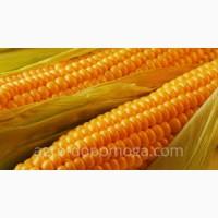Насіння кукурудзи сорту тіодор (семанс франция)