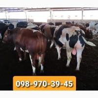 Закупка корів та бичків на мясо)