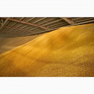 Продам Пшеницу оптом