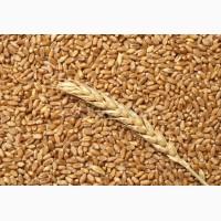 Закупаем пшеницу 2 класс