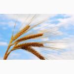 Продаем семенную пшеницу Казна Илиас 1-я