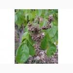 Продам семена Эводия Даниэля (медовое дерево)