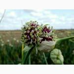 Воздушные семена озимого сортового чеснока (воздушка)