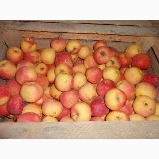 Продам яблоко на экспорт