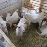 Продаются козочки и козлята на держання