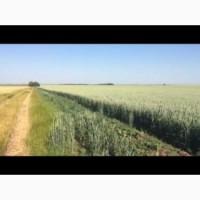 Канадская пшеница сорт Tesla