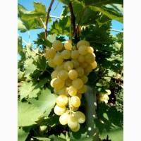 Продам виноград плевен с поля оптом в евротаре