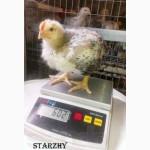 Суточные цыплята Мастер ГРЕЙ (6, 5 кг-петухи)