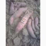 Продам батат (сладкий картофель)