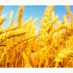 Пшеница 2й 3й кл. Покупаем, прямой контракт