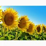 Посівний матеріал соняшнику Українське сонечко (90-95 дн)