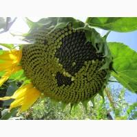 НК «ГРАН» пропонує насіння соняшнику Карат
