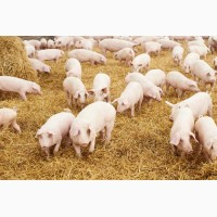Свинина мелким оптом, доставка, Киев