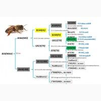 Бджоло матки БАКФАСТ пройшли тестування в УкраЇні