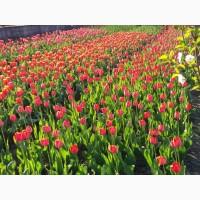 Продам тюльпани оптом