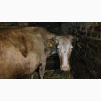 Продам корову на молоко