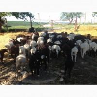 Продам вівцематки м#039;ясних порід