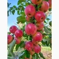 Продам яблука урожай 2021