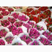 Тюльпаны ОПТ Розница