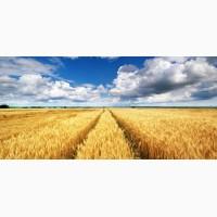Закупаем Пшеницу с места от 100т