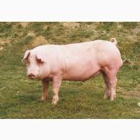 Продам свиней мясных порід живою вагою