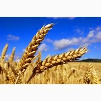 Закупаем оптом Пшеницу любой объем.Возможно самовывоз, Кременчуг