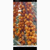 Закупаем на ветке ягоду облепихи 15-20 гр