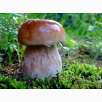 Купим свежие и соленые грибы: белый гриб, лисичка, опята, грузди в больших количествах
