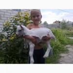 Продадим козликов