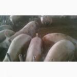 ТОВ бойня закупит свиней живым весом
