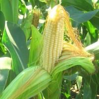 Акція на насіння кукурудзи! Гібриди Гран 220, Гран 310, Гран5, Амарок, ВН 63, ВН 6763