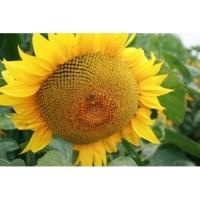 Пропонуємо гібрид соняшнику Осман ІМІ