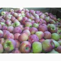 Продам оптом товарное яблоко