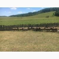 Продам стадо овец 550 голов романовская порода