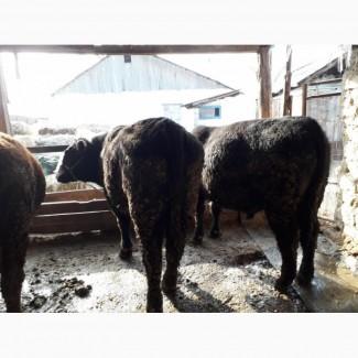 Купимо мясних биків від господарств