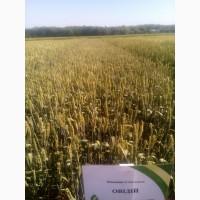 Овидий - озимая мягкая пшеница – (улучшенная Херсонская безостая)