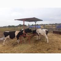 Продаю коров и телок