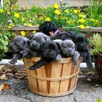 Кане корсо щенки продам срочно 4000 грн (торг)
