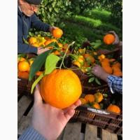 Апельсины из Италии (от владельца)